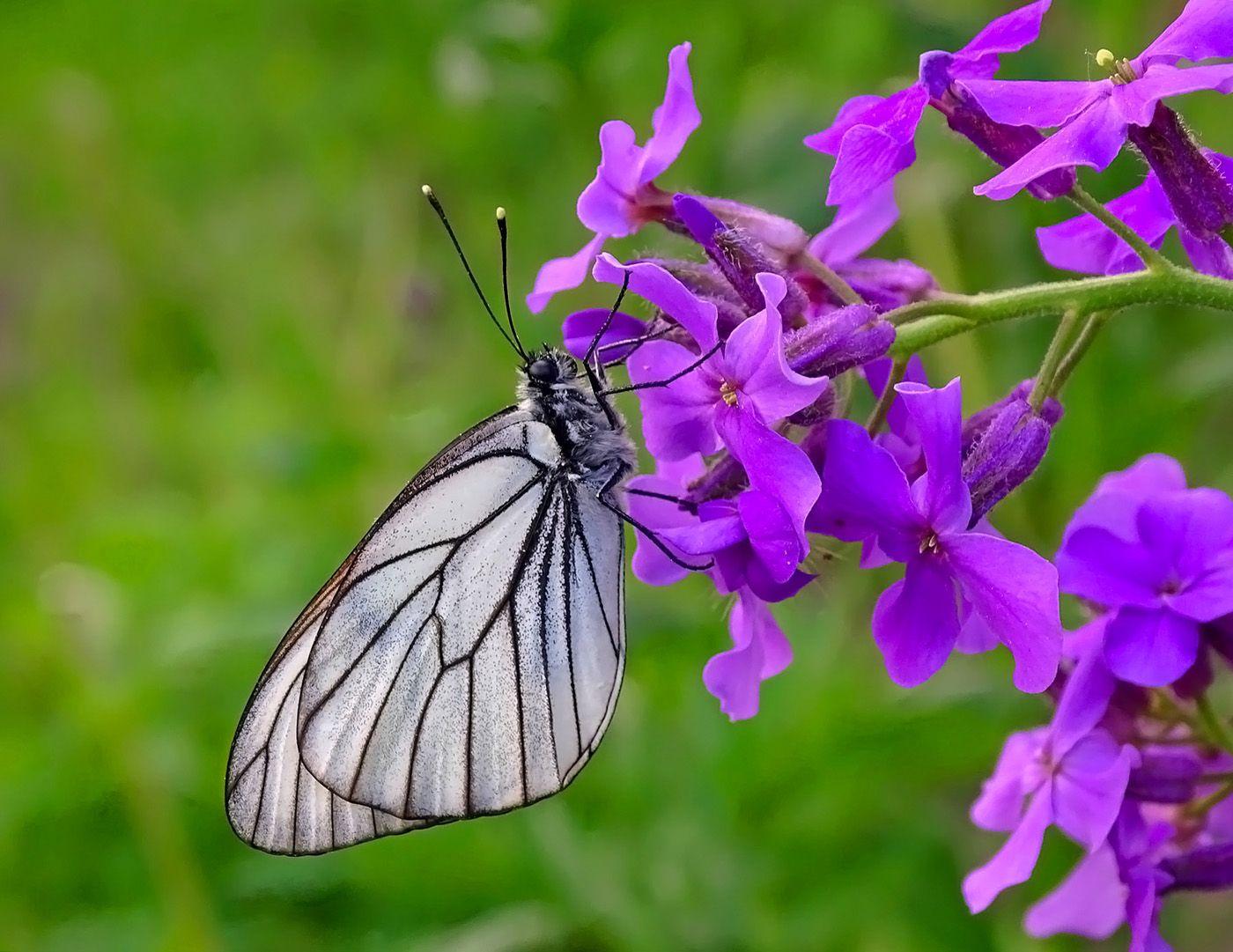 Боярышница Сибирь природа июнь 2021 бабочка боярышница макро
