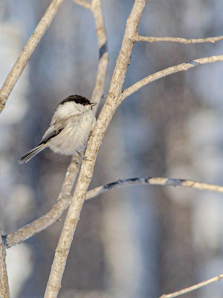 Пухляк Птицы лес природа