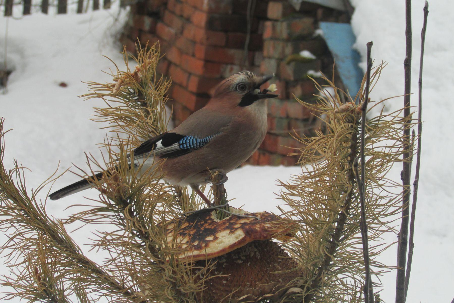 Сойка и блин птицы Каймар весна масленица сойка кормушка
