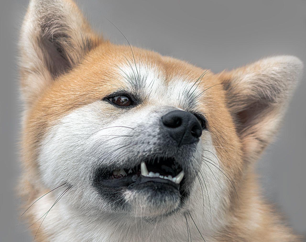 Показываем зубки собака портрет зубы