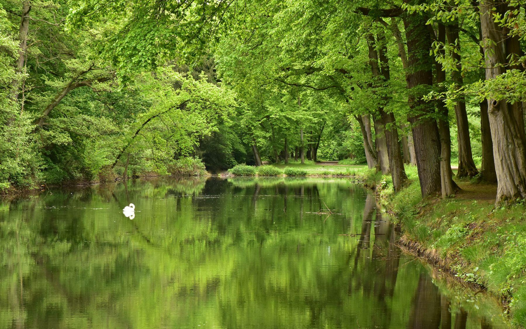 Одинокий лебедь на пруду. Пруд лес вода лебедь