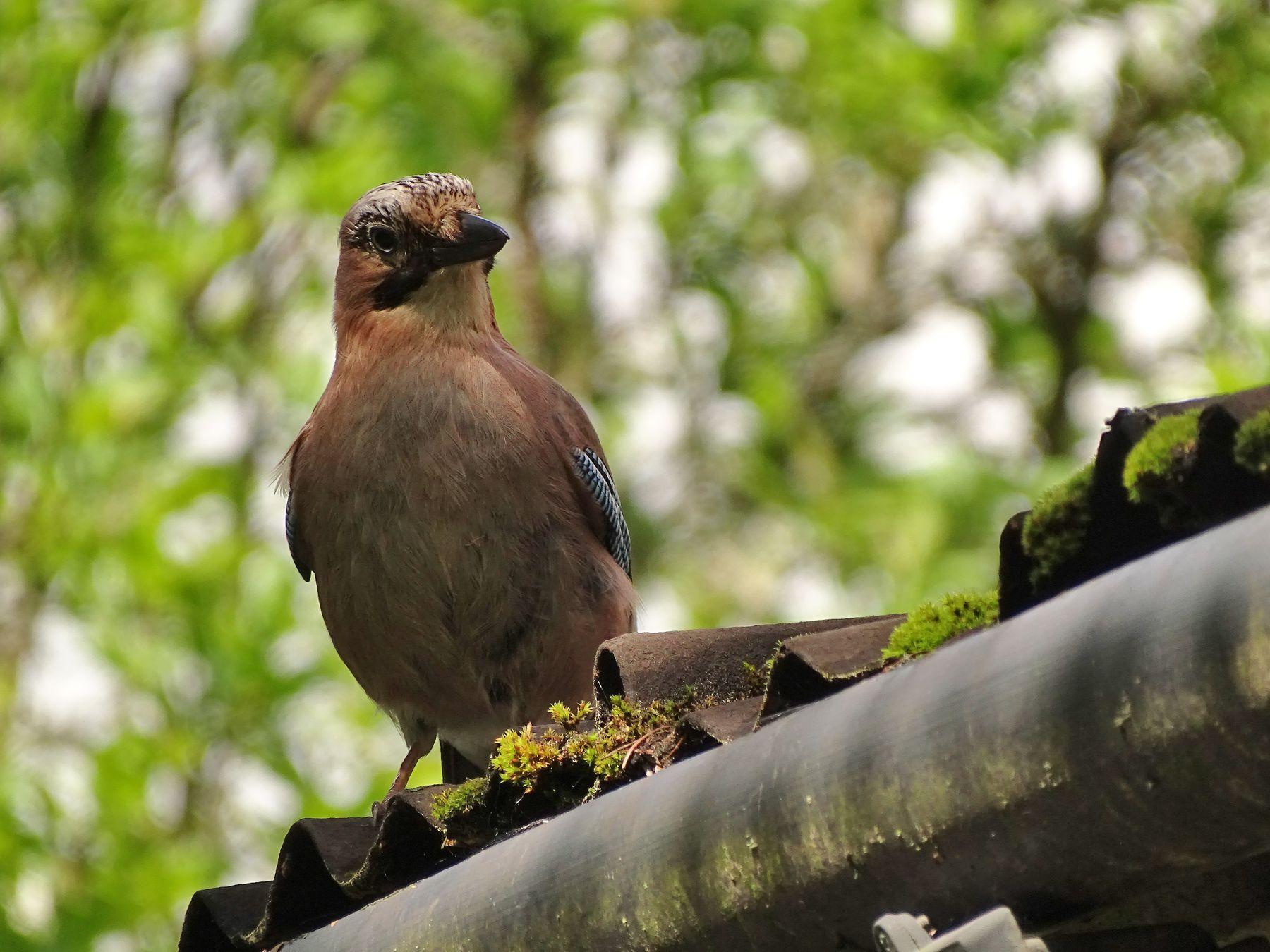 В гости сойка прилетела. животные природа птицы фауна