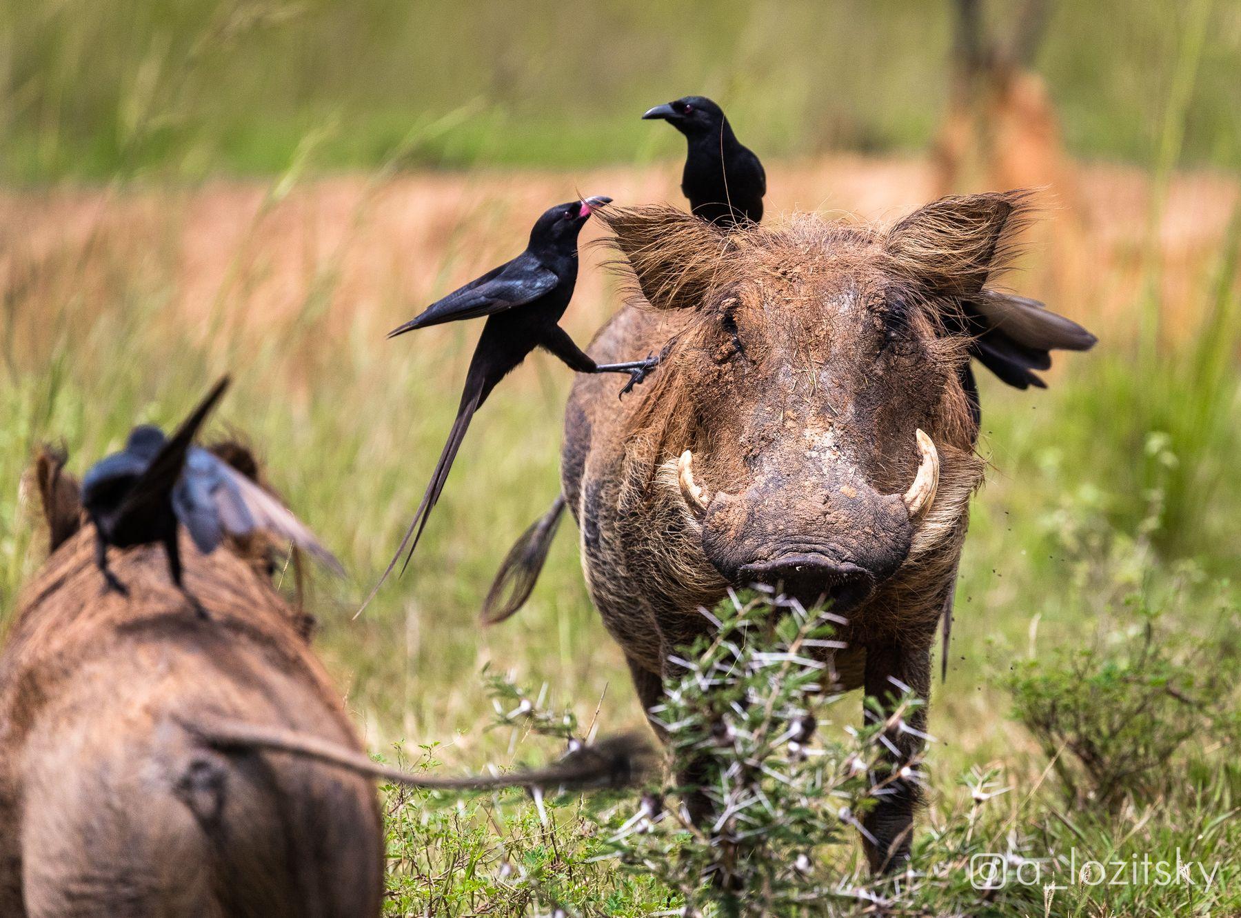 Бородавочники и их друзья вороны. Уганда.
