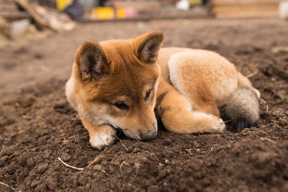 Умаялся собаки Япония сиба-ину самурай шиба щенок малыш весна дача