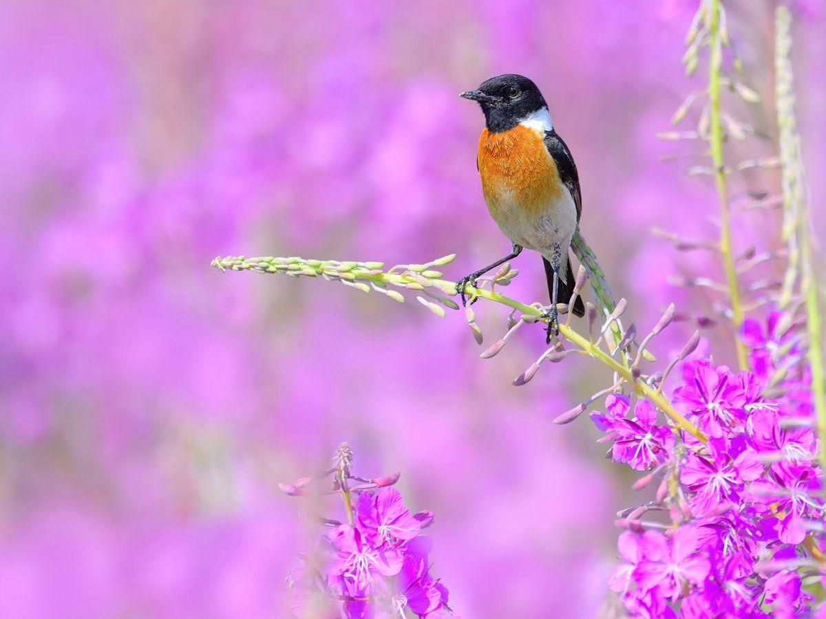 Песни летнего луга природа птицы фотоохота чекан черноголовый