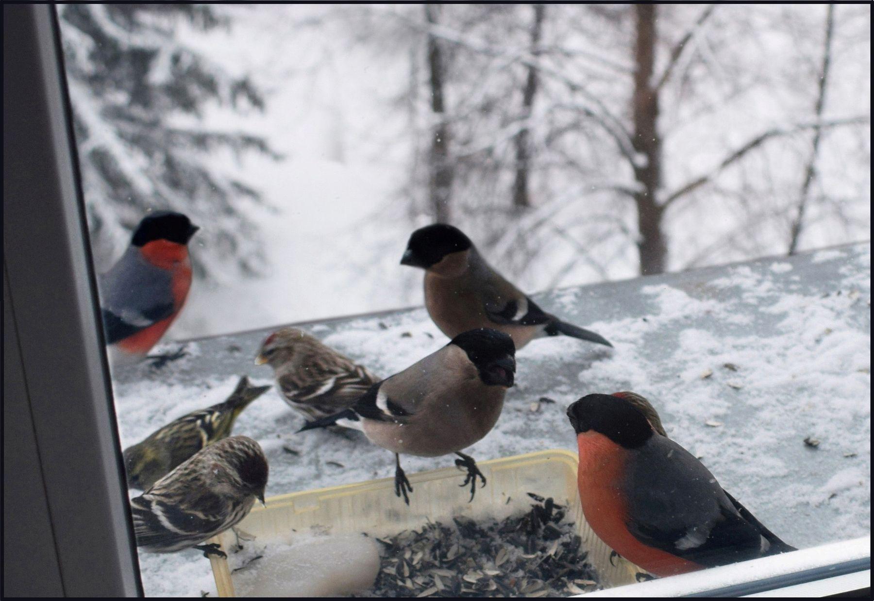 Четыре снегиря и три чечетки. город птицы