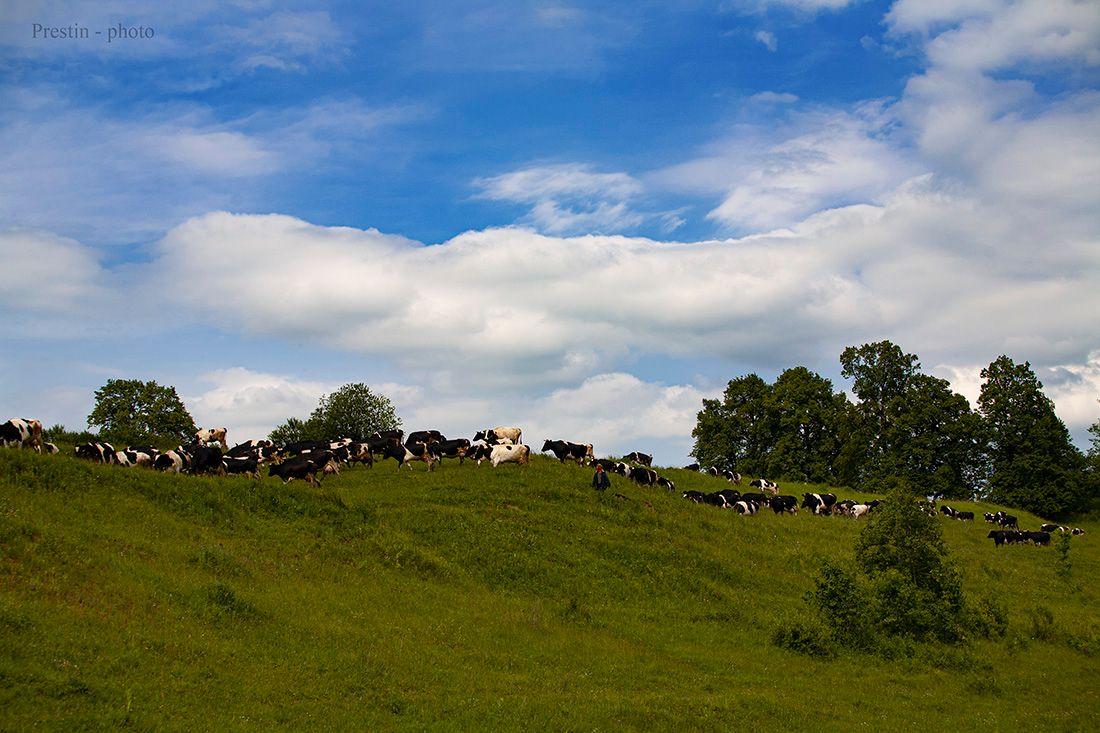 Куда уходит мясо... коровы небо облака трава деревья кусты пастух