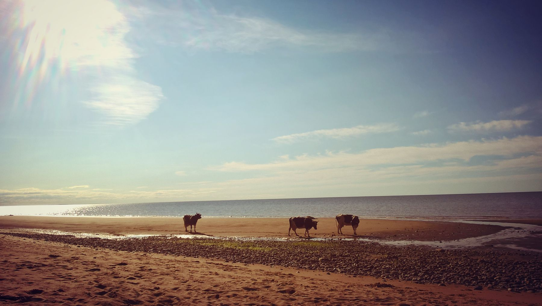 *** коровы на прогулке море пляж природа
