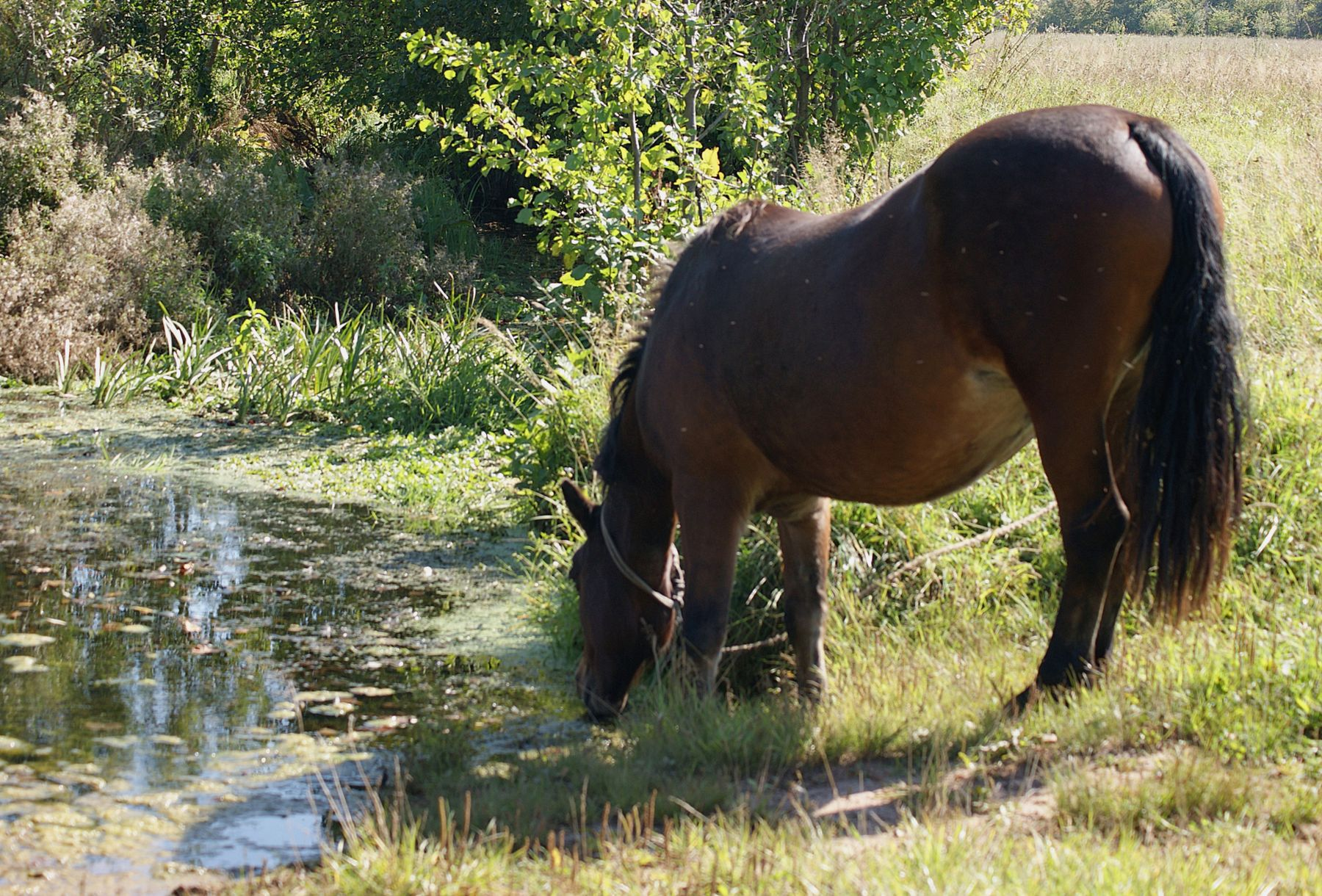 Жара лето речка лошадь водопой