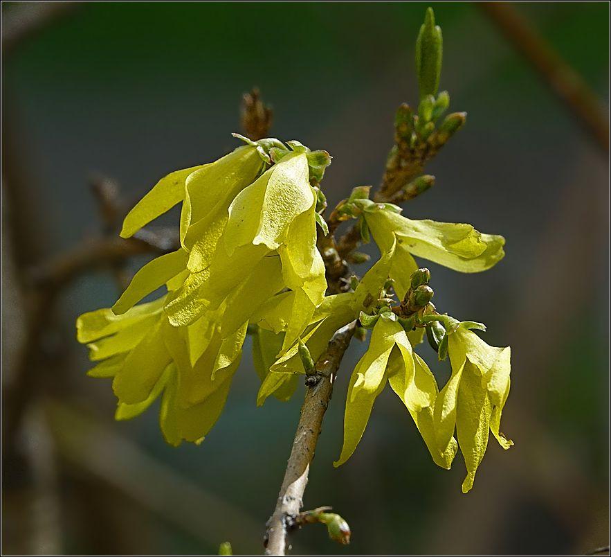 Форсиция Forsythia Форсиция растение кустарник цветки