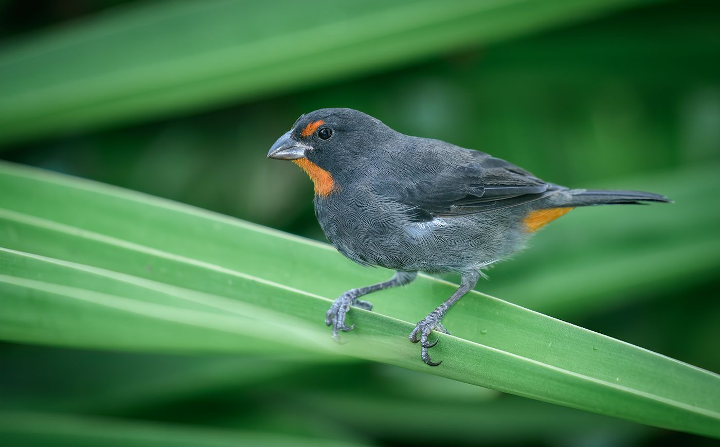 Lesser Antillean Bullfinch (male)