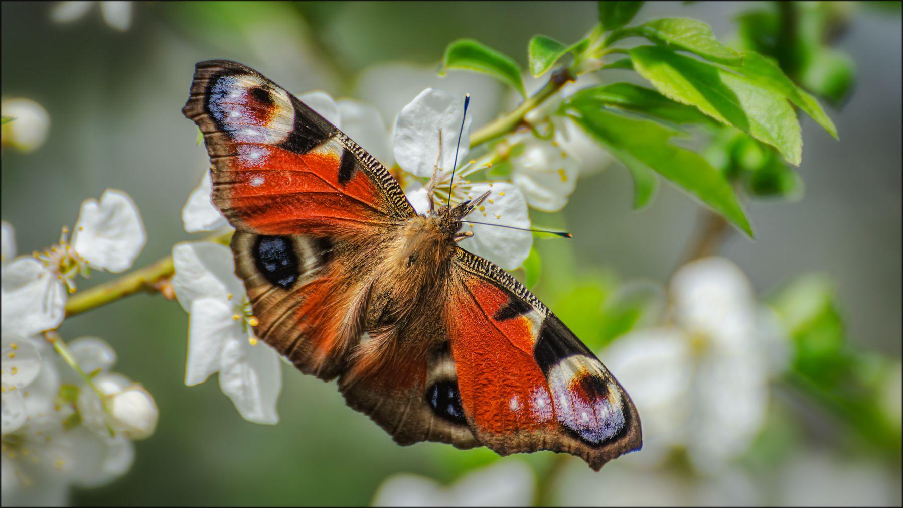 Весенняя. весна бабочка макро