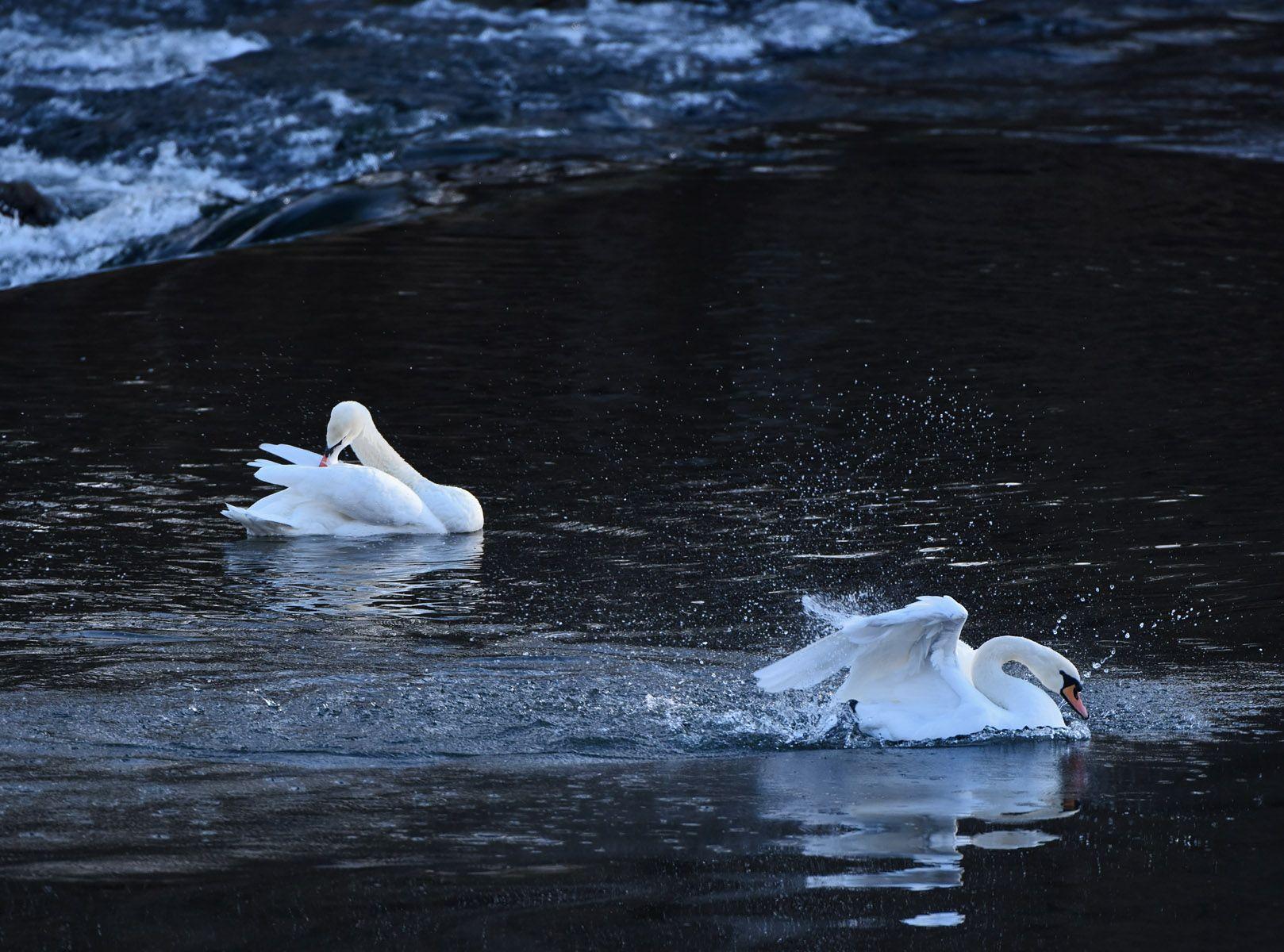 Утренний моцион лебеди утро река перекат