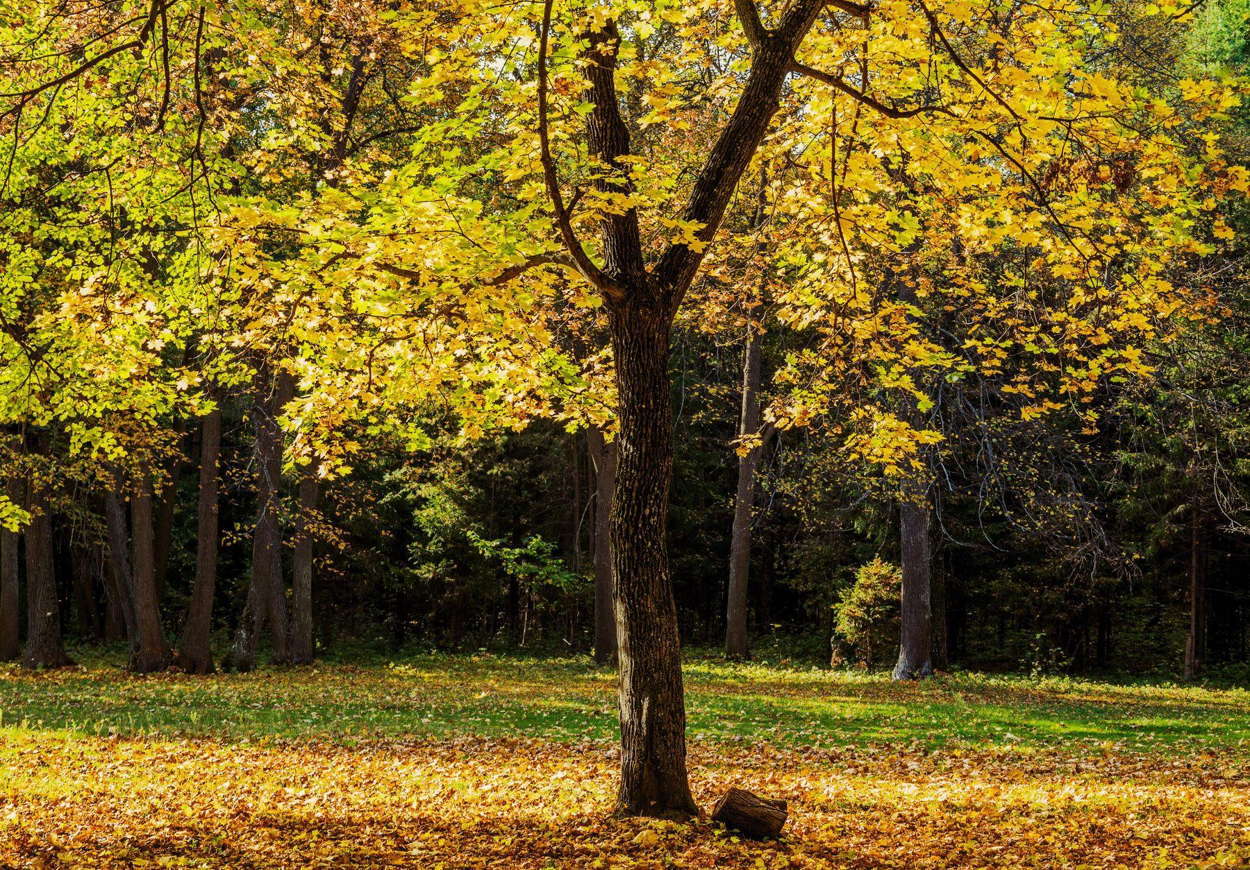 Солнечный день природа осень клен