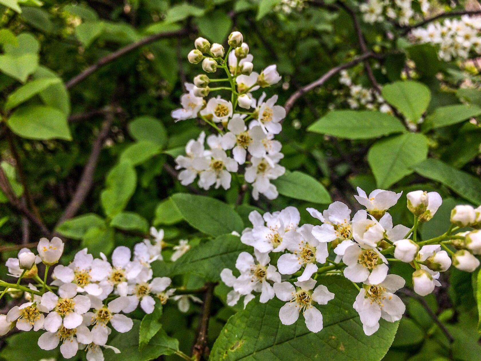 Черемуха цветы
