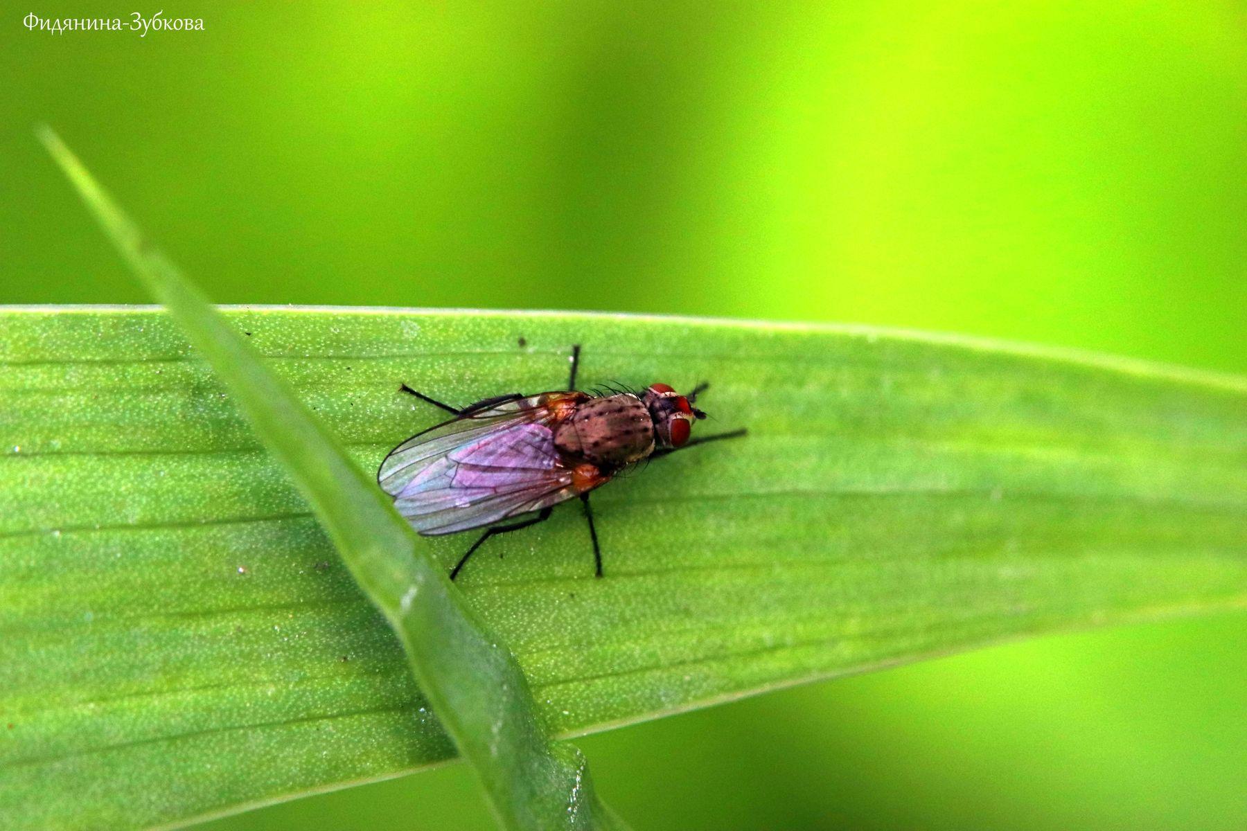Комнатная муха на узком листе