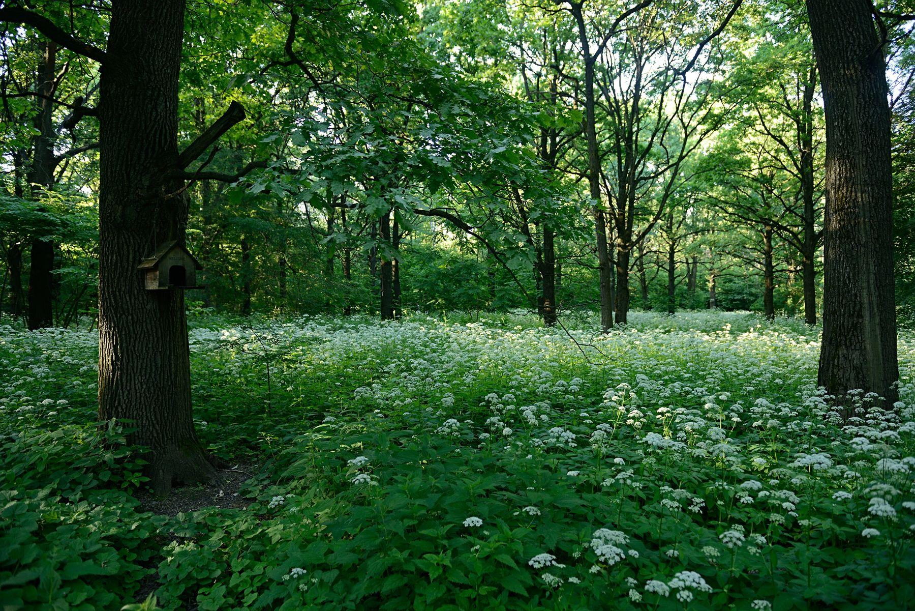 Лесная кипень Россия Москва ботанический сад лето природа сныть