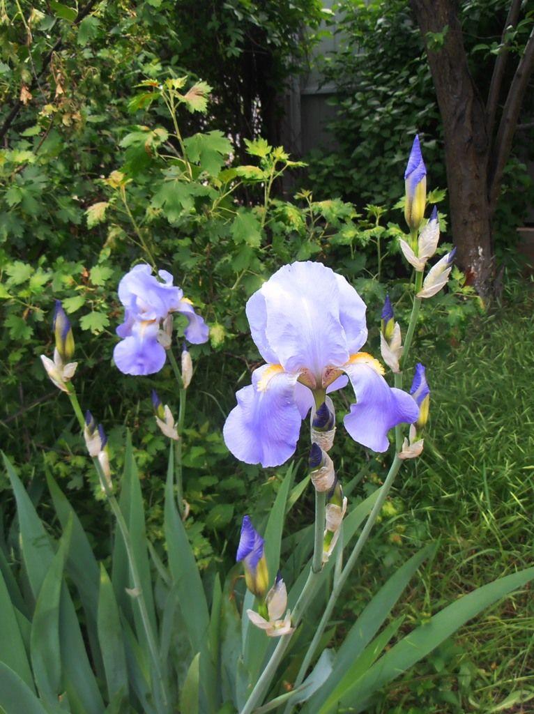 Ирисы, освещенные солнцем цветы весна дома