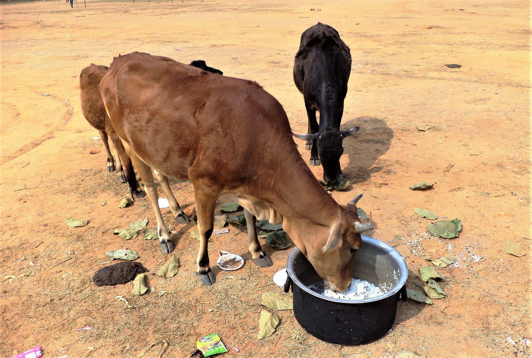 Корова кушает рис из кастрюли. индия корова животные