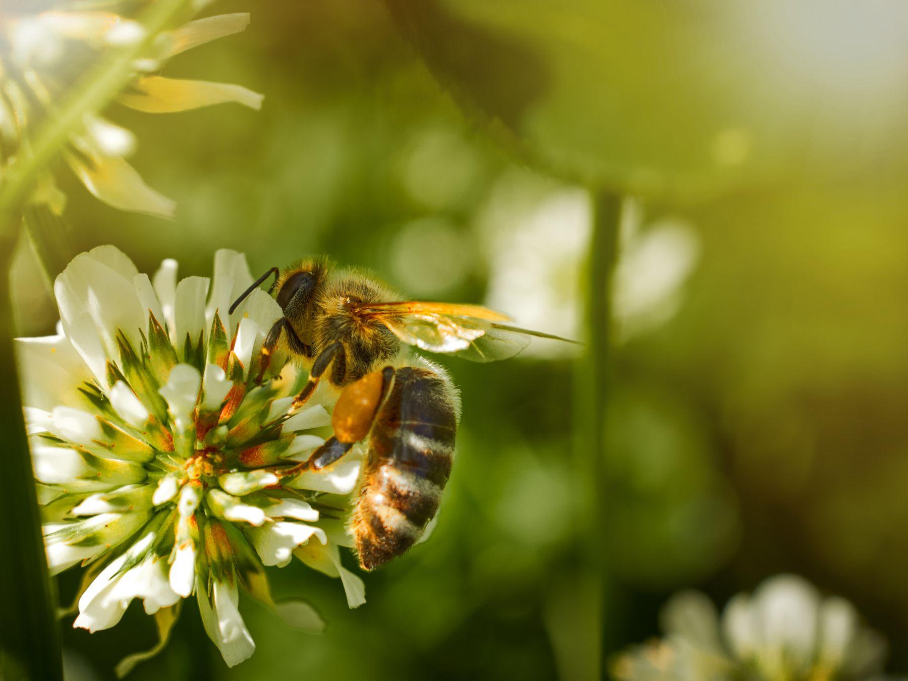 мир под ногами пчела макро лето