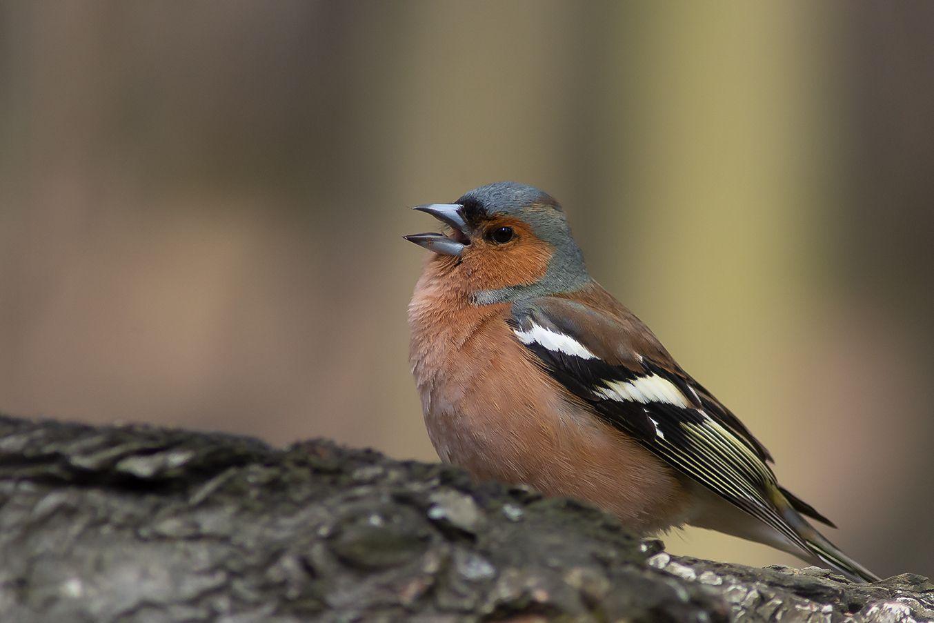 Зяблик поет фотоохота дикие птицы пищуха