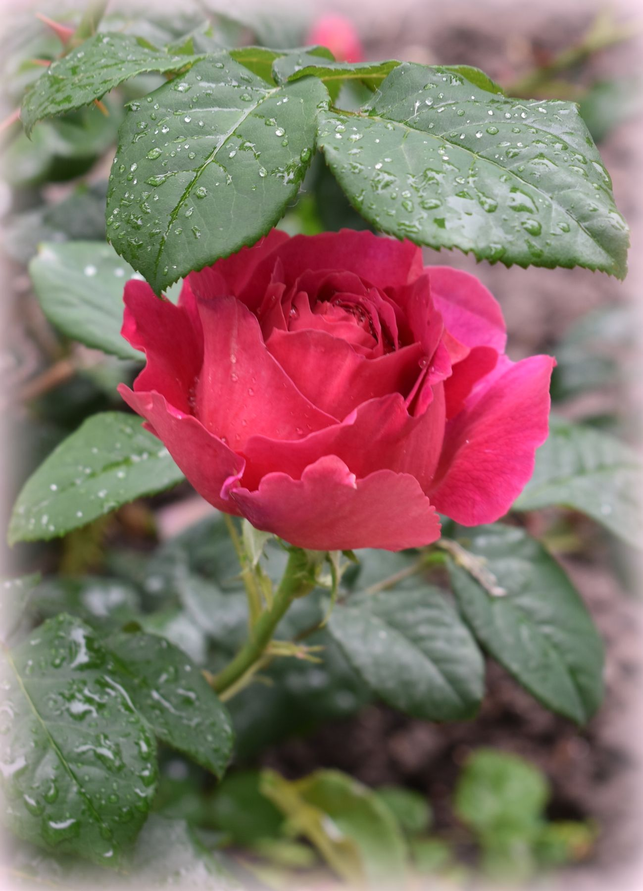 Зонтик лето июнь роза капли дождь лист