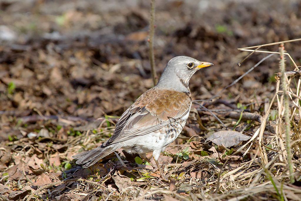 В хлопотах... птица дрозд рябинник