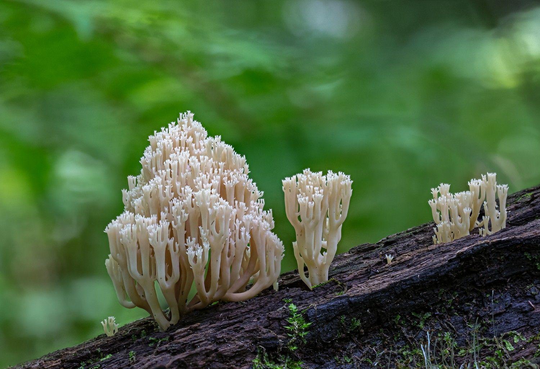 Лесные кораллы гриб рогатик