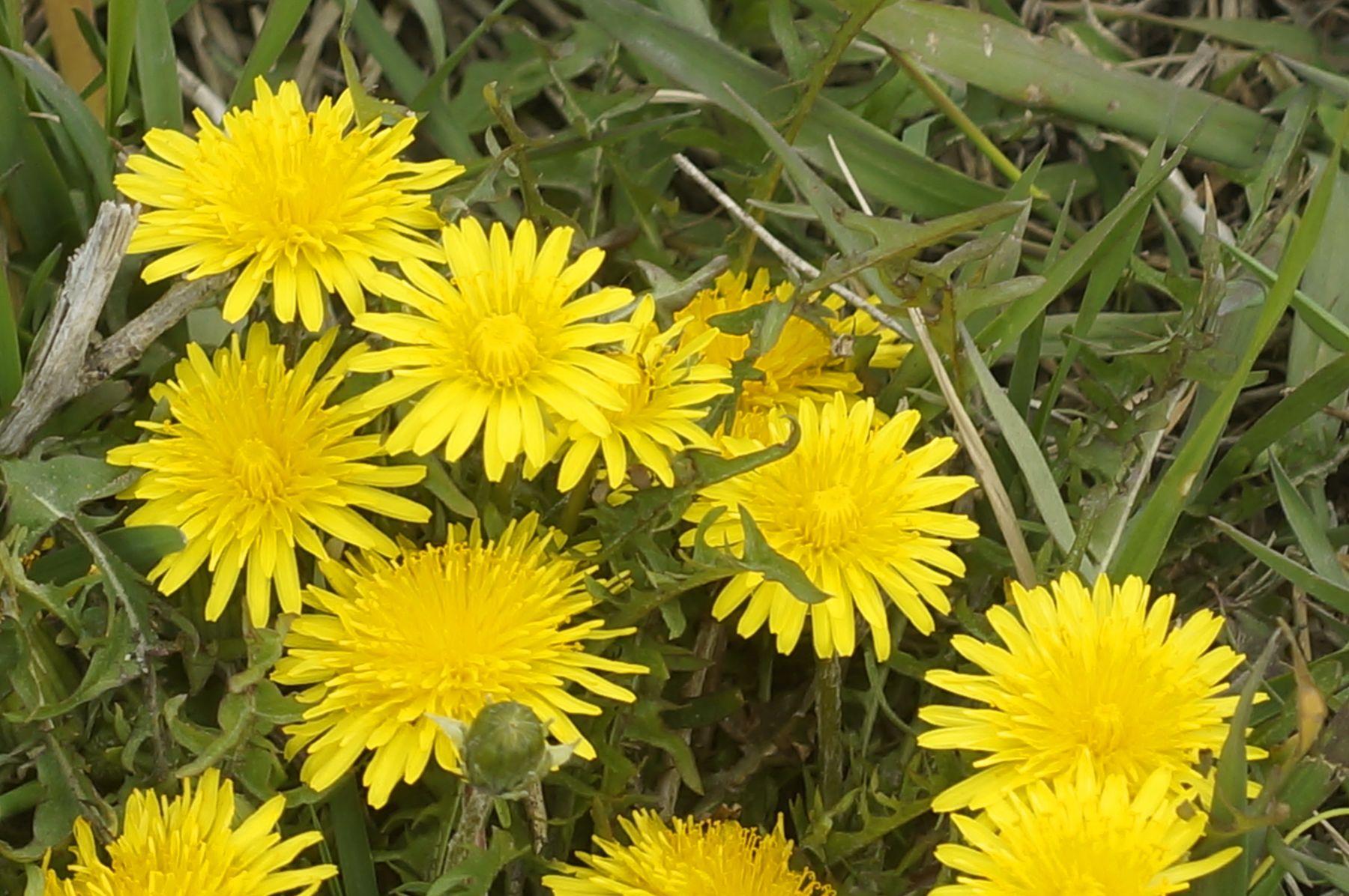 Одуванчики одуванчик весна цветок