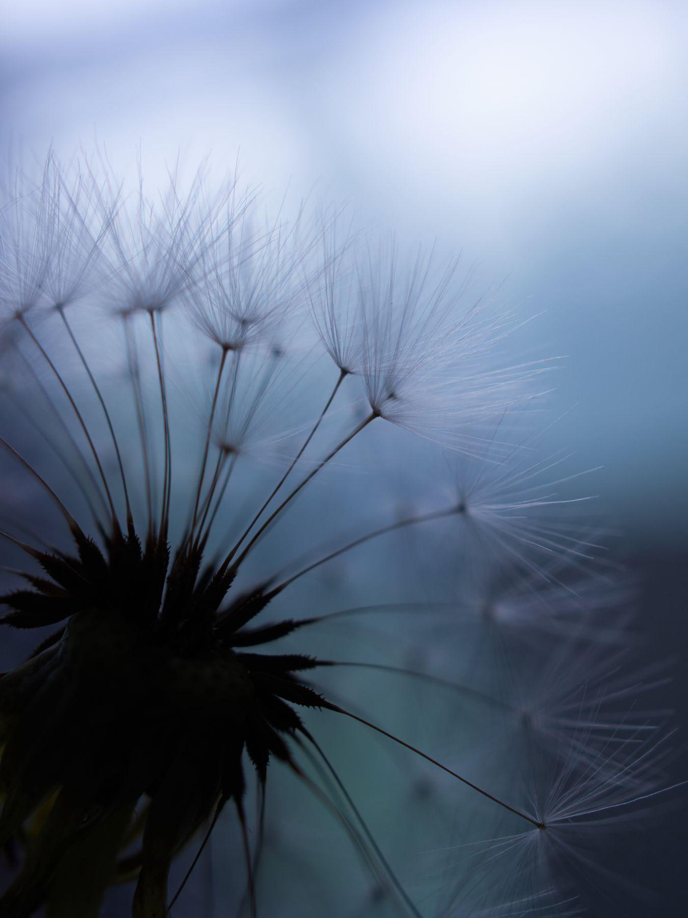 dandelion одуванчик макро