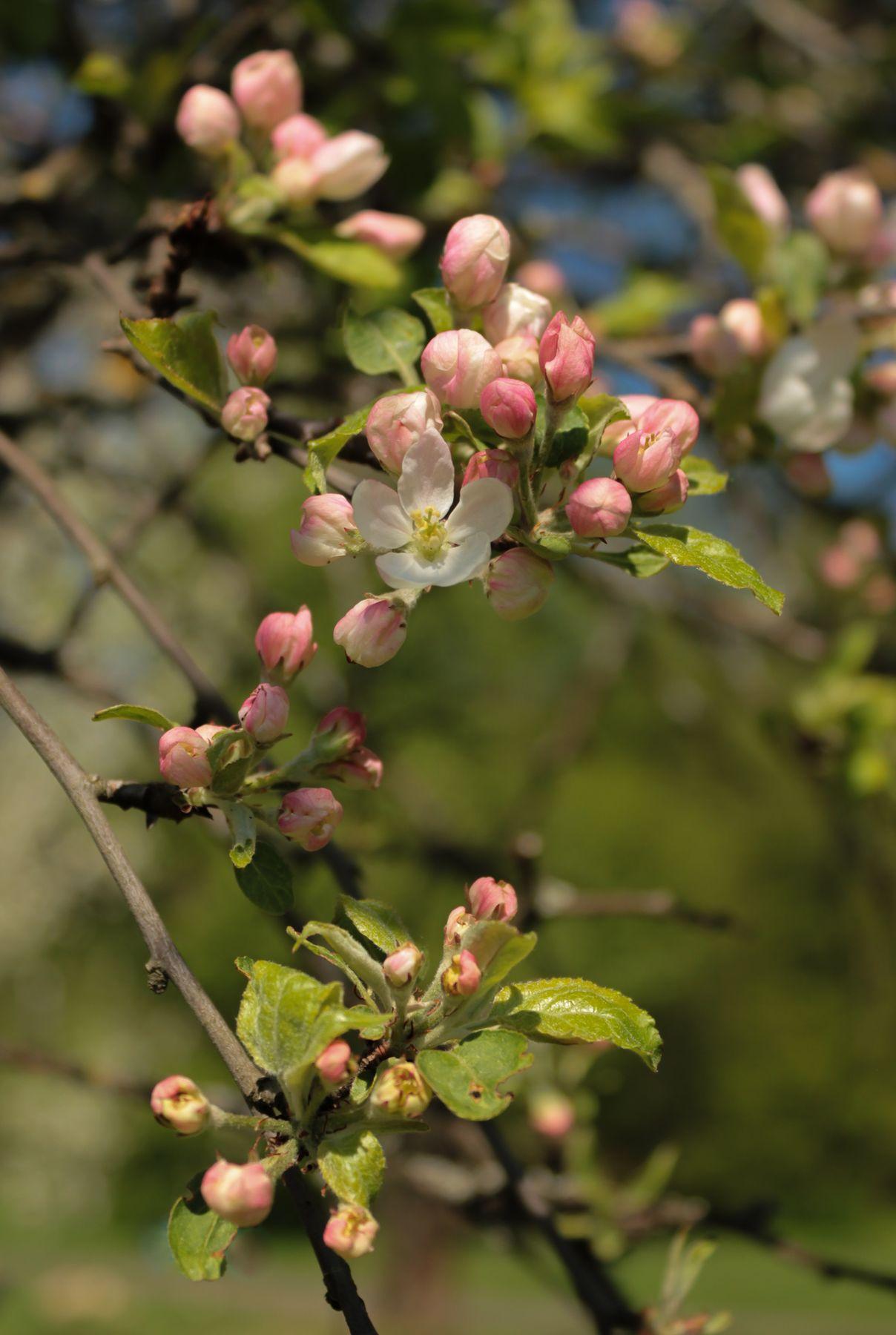 *** весна яблоня цветы