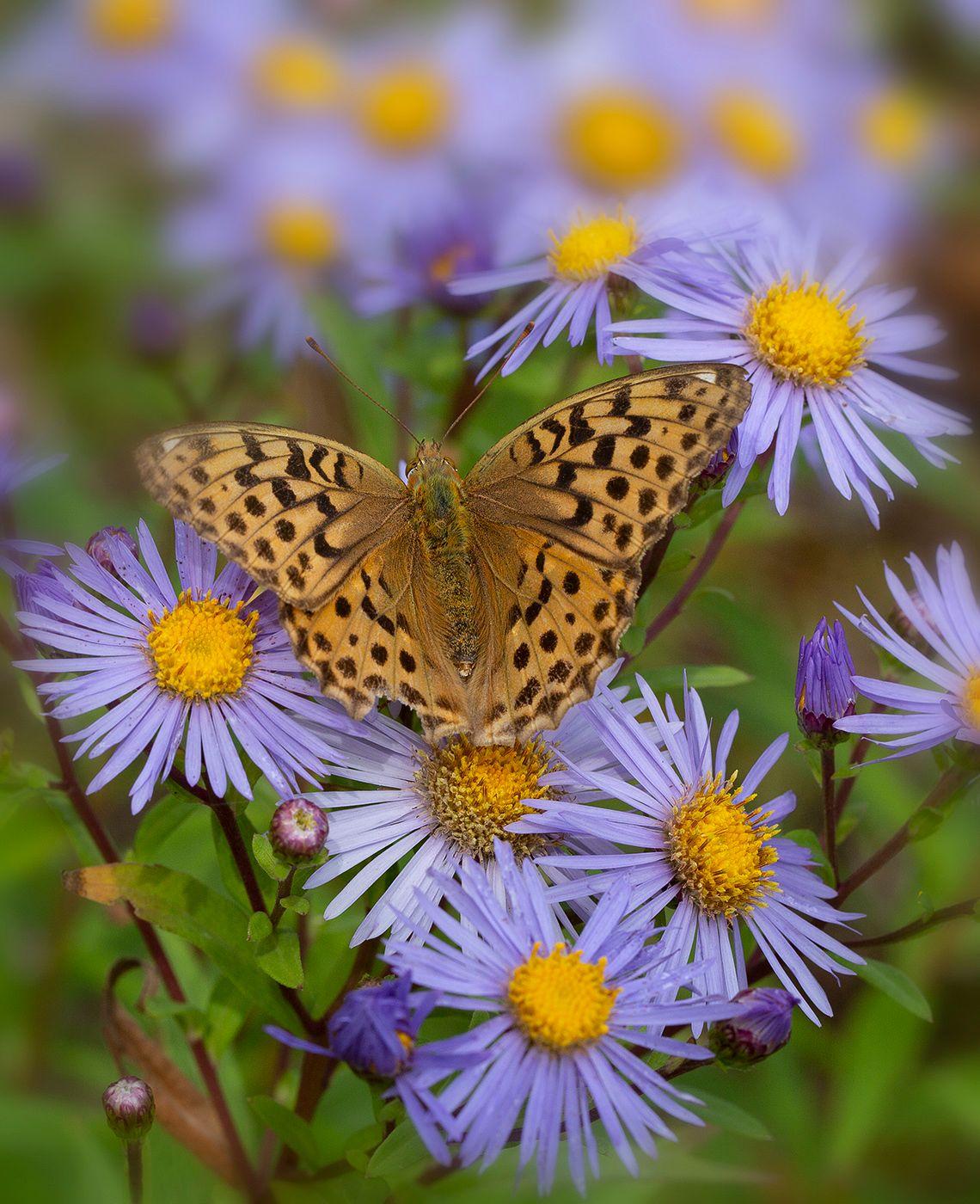 Перламутровка бабочка перламутровка астра цветы