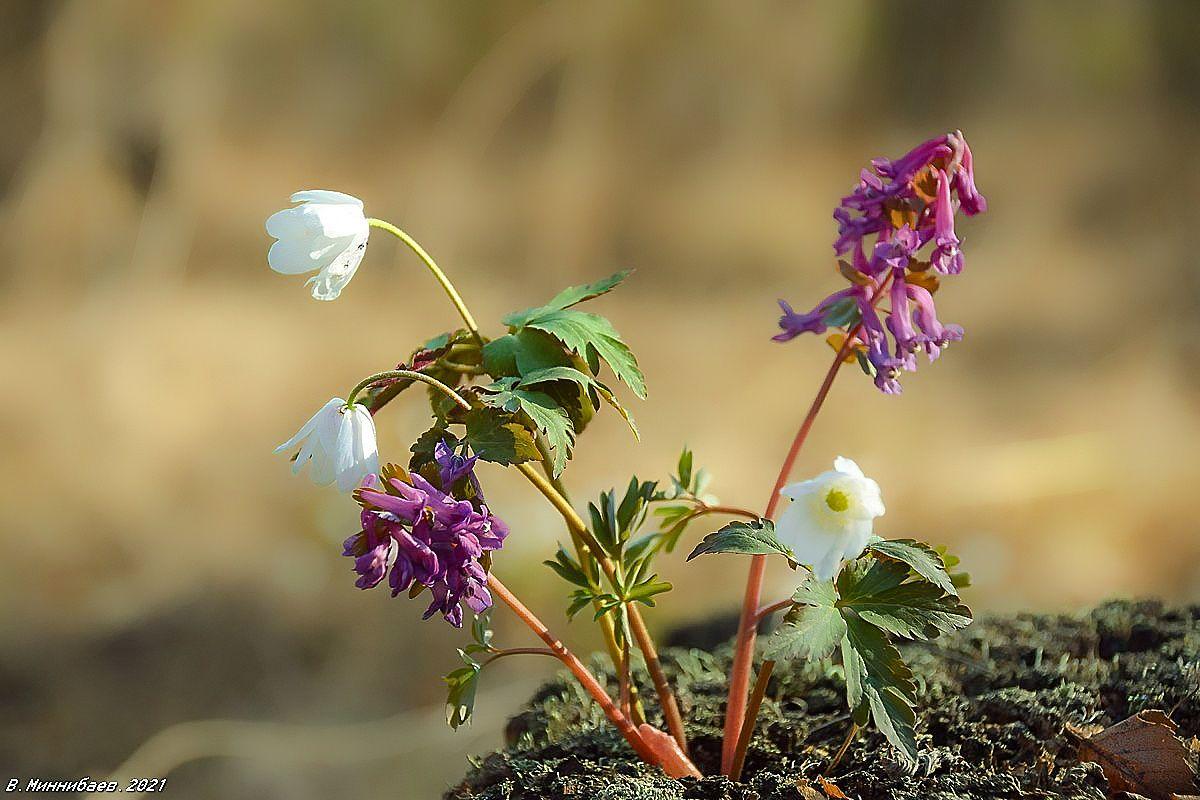 Первоцветы природа весна апрель растительный мир цветы