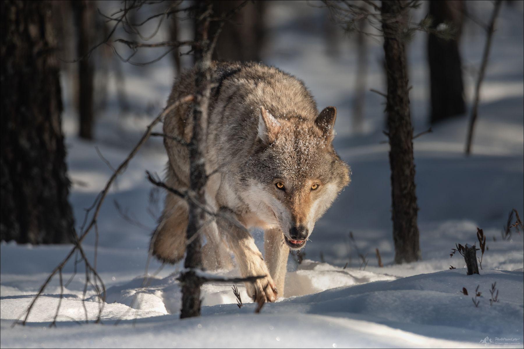 По следу .. волк wolf красная шапочка беларусь красный бор фототур в фотоохота canis lupus red riding hood серый обыкновенный евразийский европейский