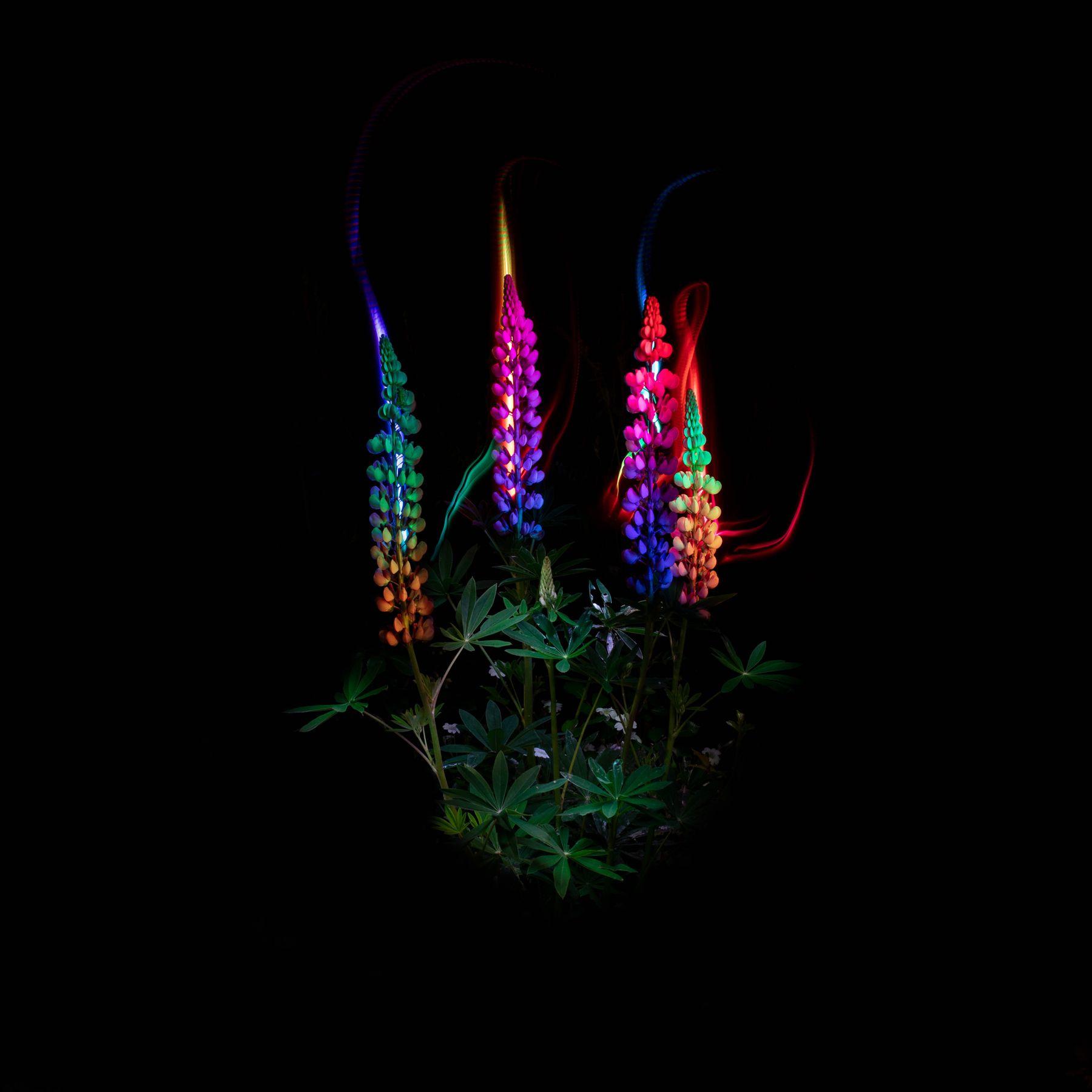 Люпин фризлайт цветы световая кисть