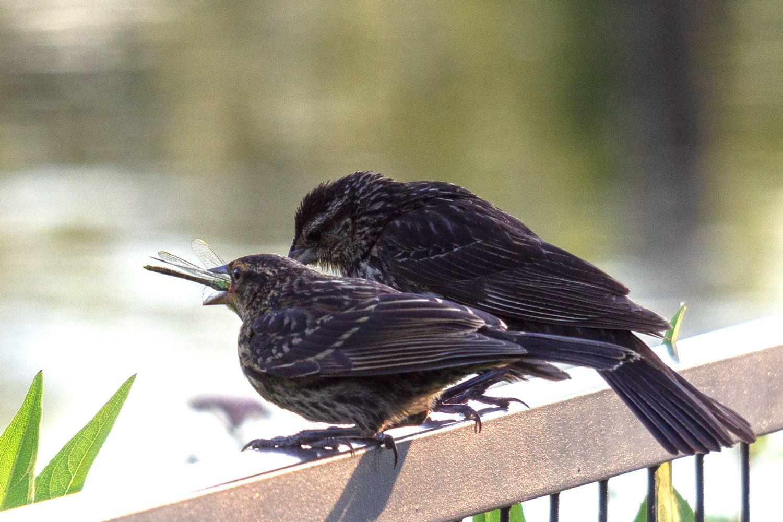 """""""Только не подавись, дорогая..."""" птица стрекоза"""
