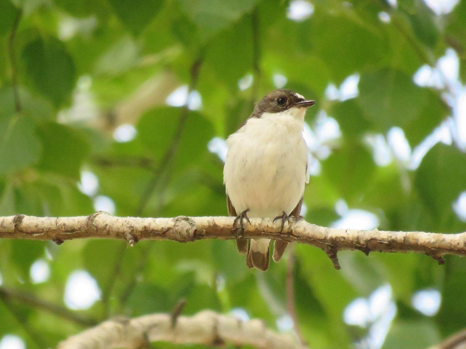 Мухоловка птицы мухоловка лето