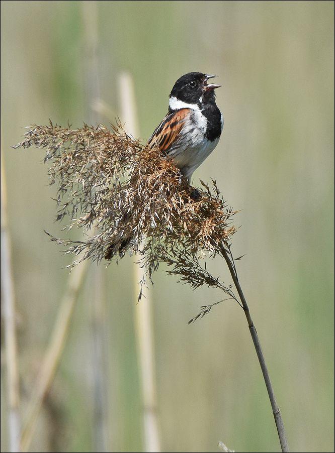 тростникoвая овсянка тростникoвая овсянка тростник самец птица Польша пение озеро вода весна Бытом