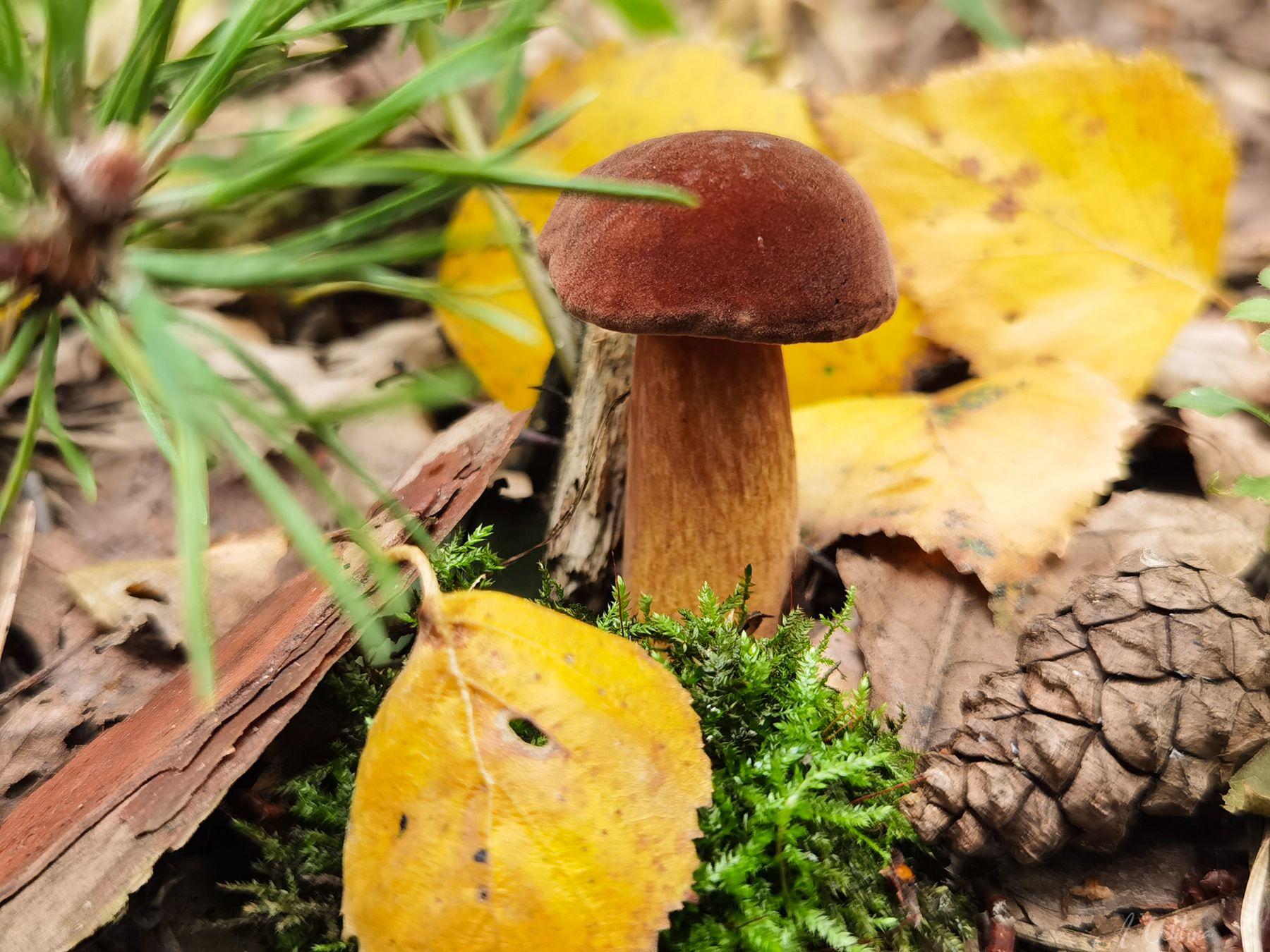 Дары леса Моховик польский гриб лес осень шишка сосна береза мох