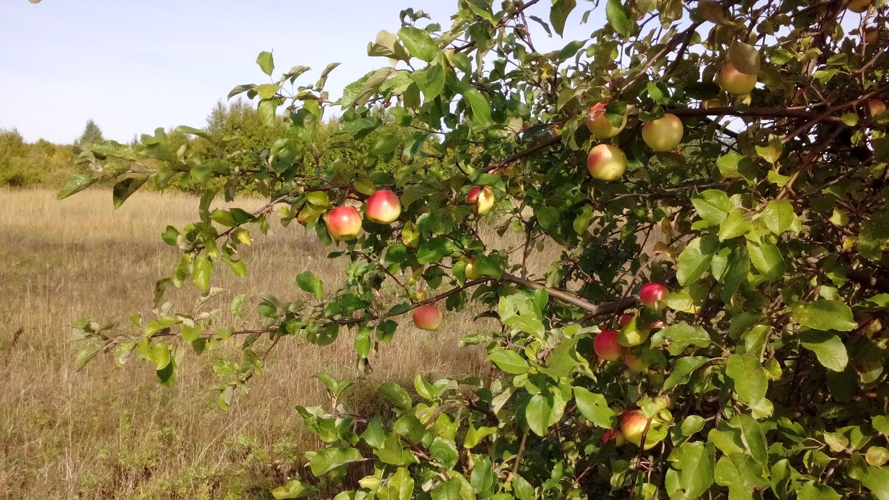 Яблоня у дороги яблоня дичек яблоки у дороги природа