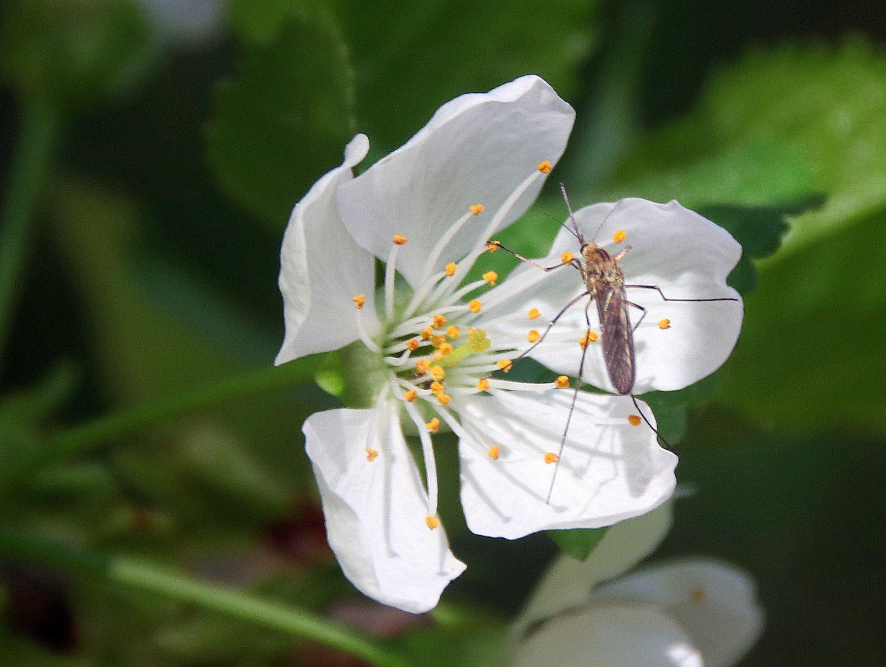 Комарик. Насекомые Цветы