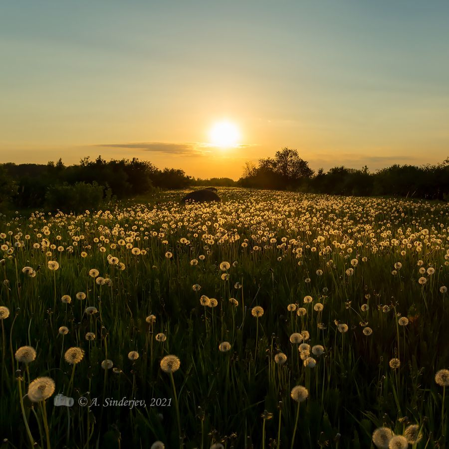 Одуванчиковое поле на закате поле одуванчики закат лето пейзаж солнце природа