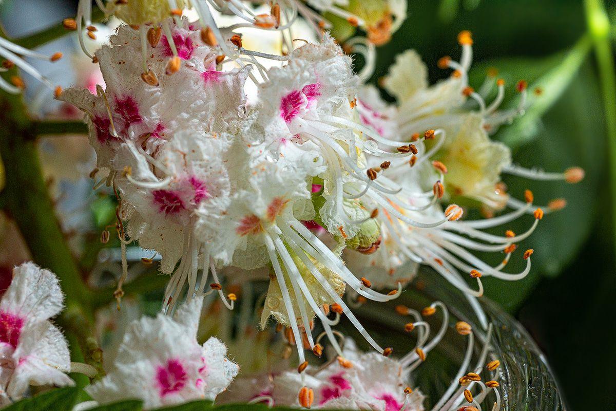 Цветение каштана цветок каштана
