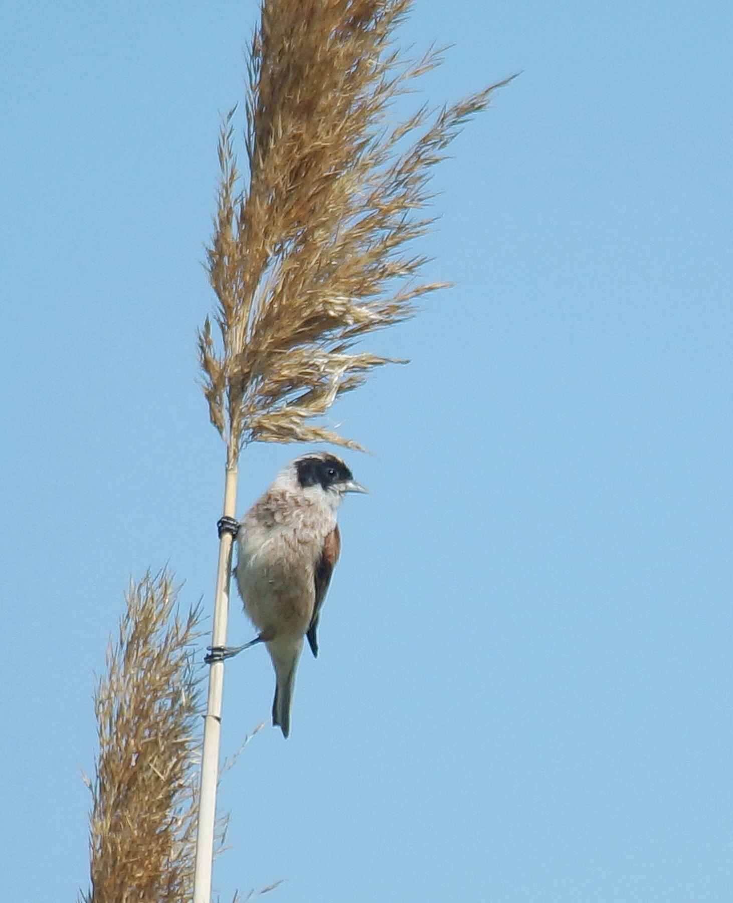Ремез на веточке Лето птицы ремез обыкновенный Волгоград