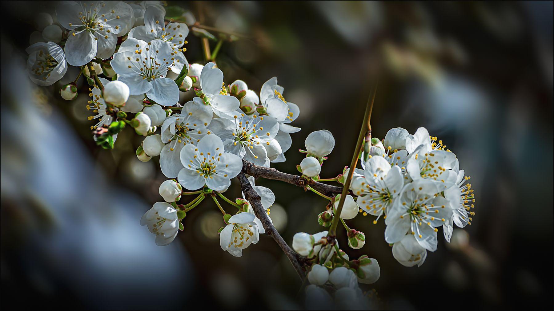 Весенняя. весна цветы макро