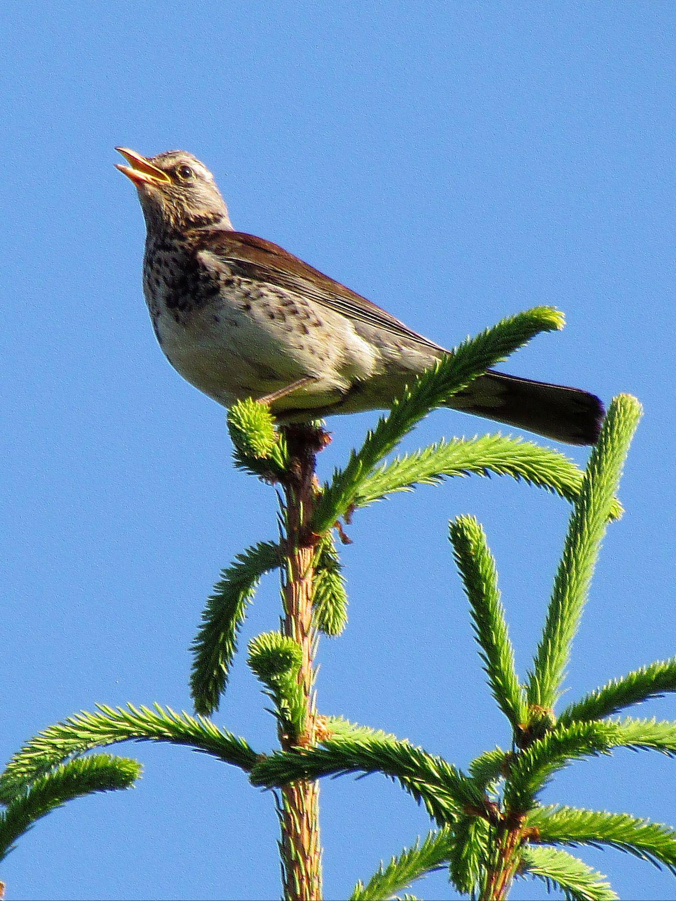 *** птицы дрозды