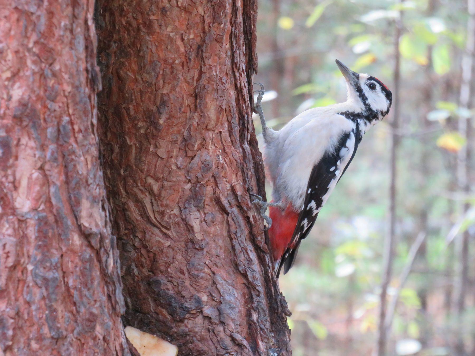 Пестрый дятел птицы дятел лес осень