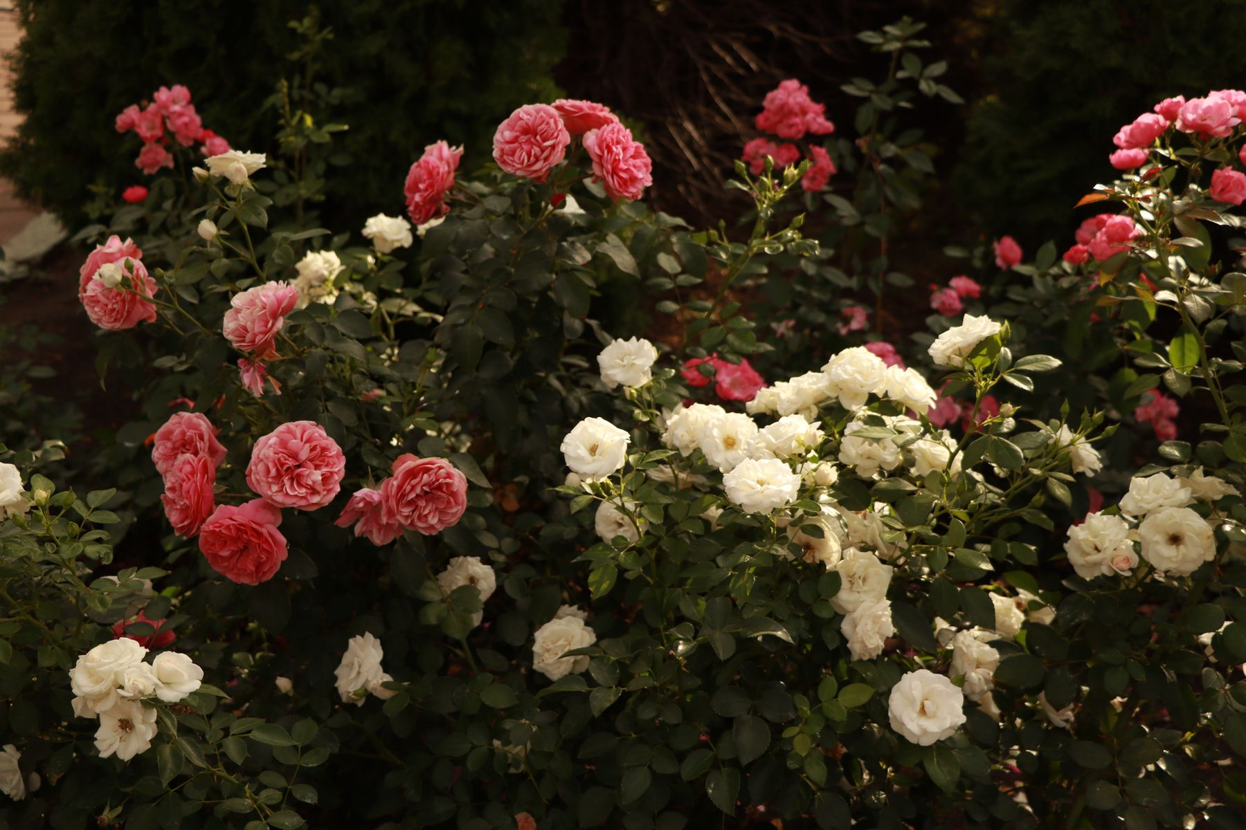 Там, где цветут розы...