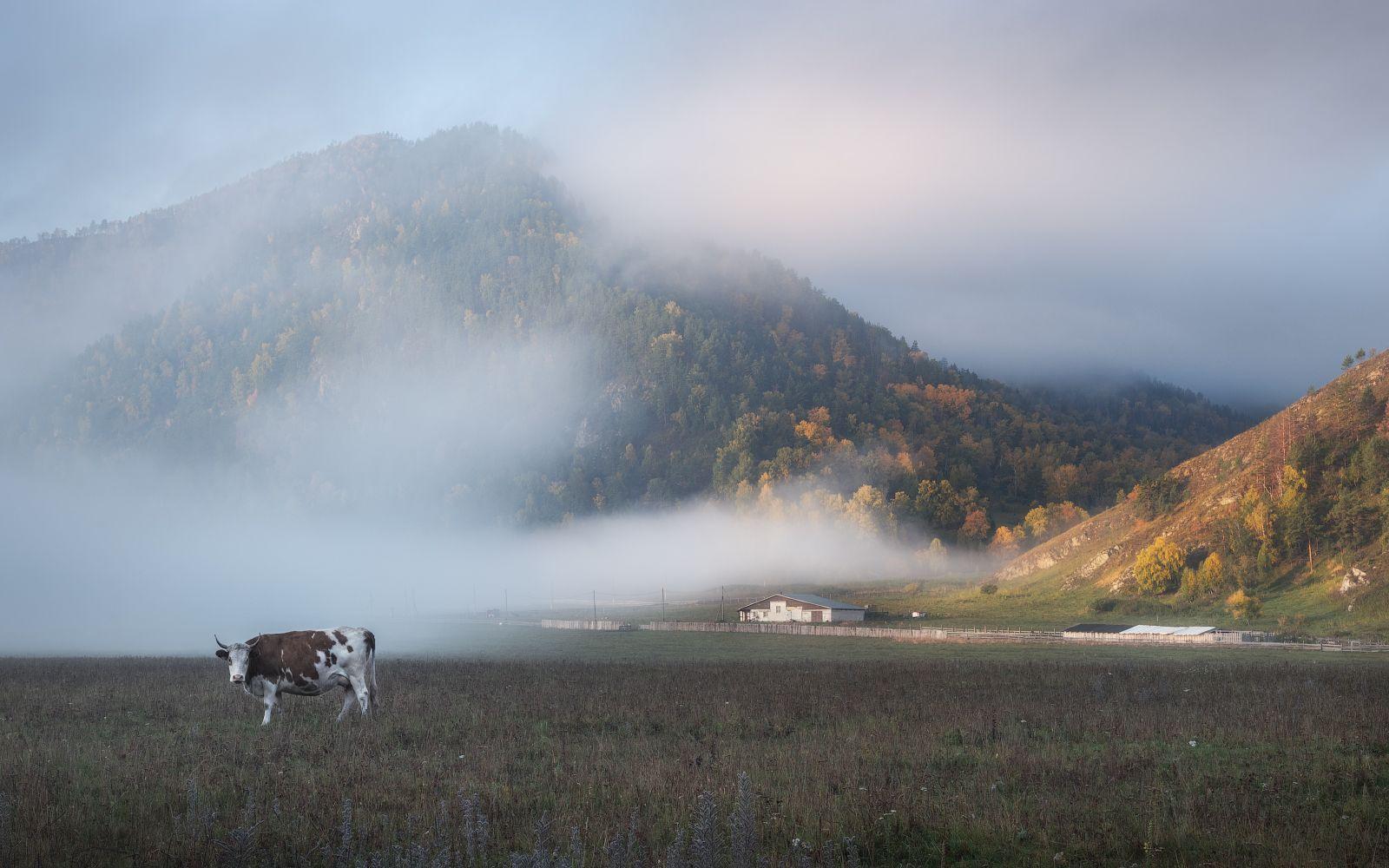 Про коровку, утренний туман и осенние горы алтай горный чемальский район элекмонар утренний туман золотая осень горы корова утро