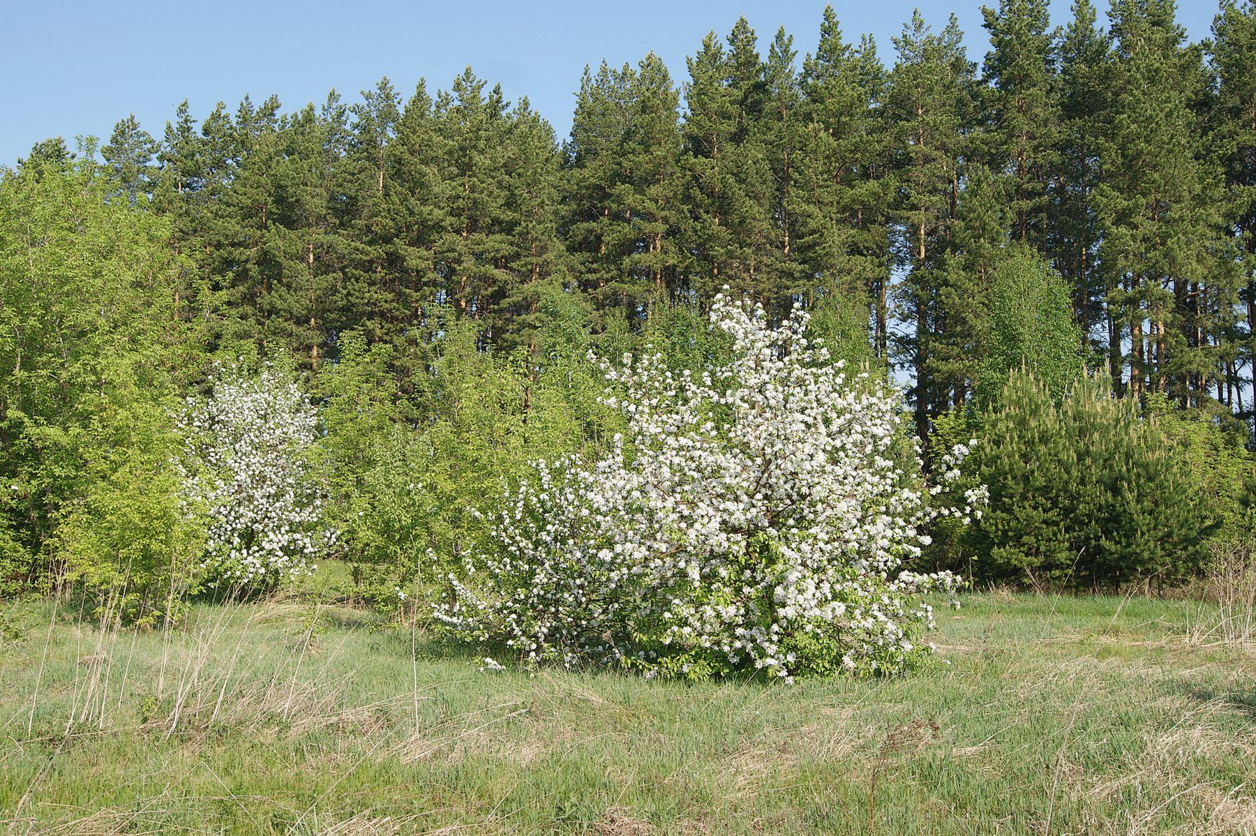 В середине мая Май лес дикая яблоня цветение